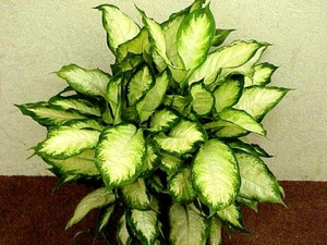 Диффенбахия - уход в домашних условиях, как ухаживать за цветком, фото, видео