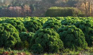 Пищевая ценность капусты
