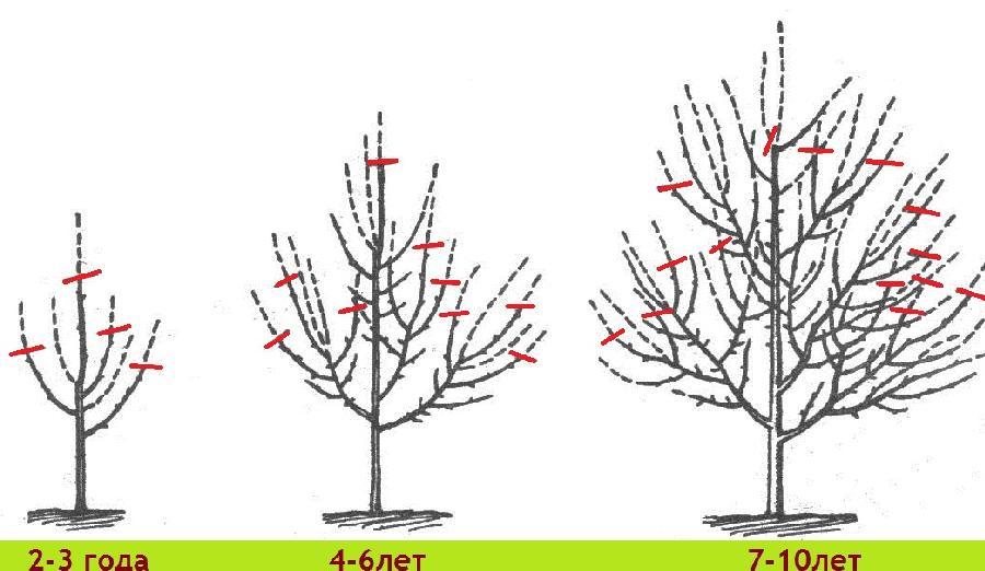 Обрезаем плодовые деревья правильно. Или нет?