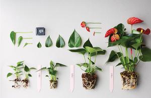 Родина растения.