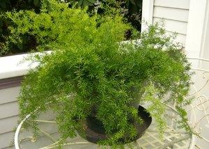 Почва для растения аспарагус