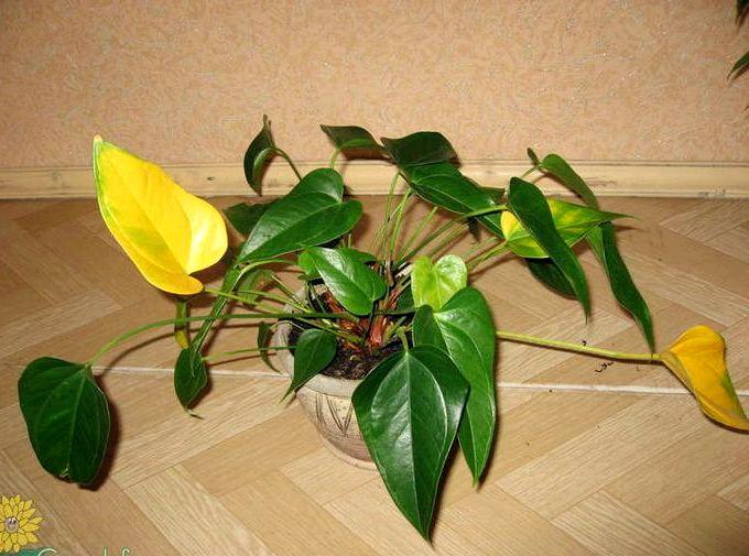 Почему у цветка антуриум желтеют листья