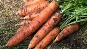 Почва для морковки