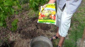 Способ применения нитроаммофоски для винограда
