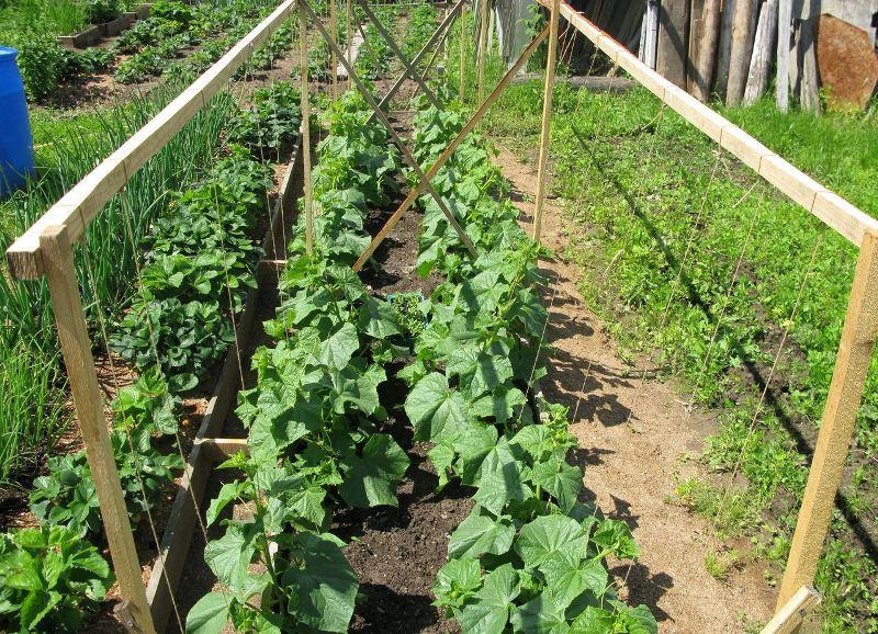 Как получить хороший урожай огурцов в открытом грунте?